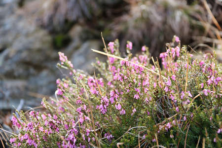 flowering pink cinerea heather in the nature, springtime Stock Photo