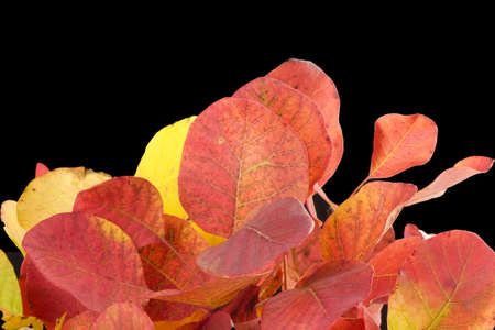 close up of colorful autumn leaves and veins on black background Stock Photo