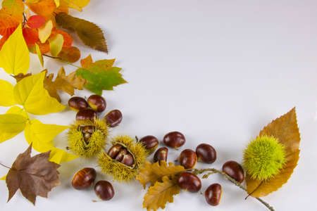 group of chestnuts, husk and colored leaves of autumn, white background, copy space