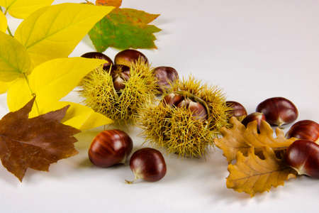 close up of chestnuts and autumn leaves on white background, copy space
