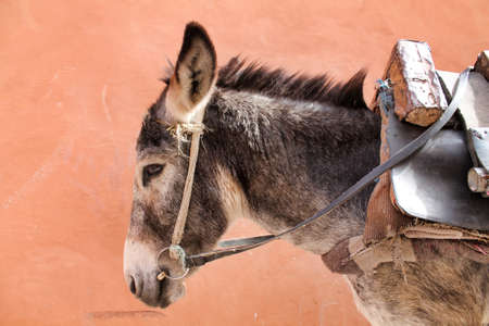 close profile portrait of a gray mule, pink wall on background Stock Photo
