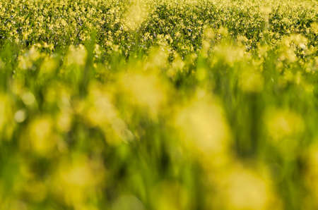 whole field of yellow flowers in springtime, focus in the background