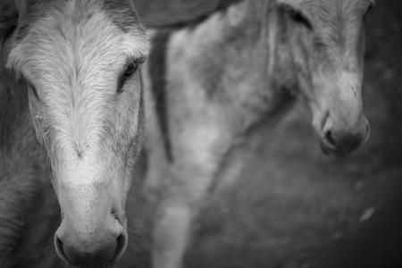 donkeys: donkeys in black and white