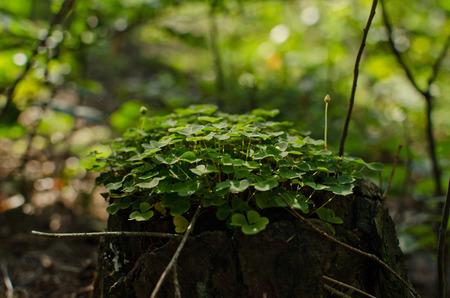 sour clover: sour clover Stock Photo