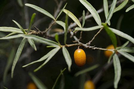 buckthorn: Buckthorn fruit