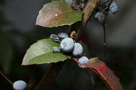 honeysuckle: honeysuckle berries