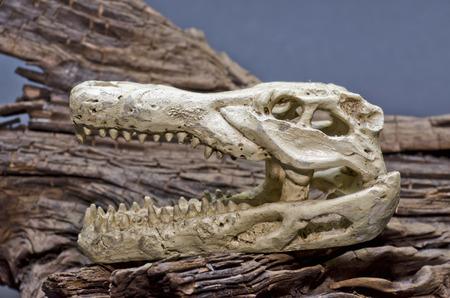 crocodile skull photo