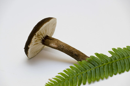 gills: mushroom with Gills