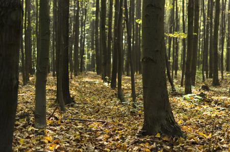 tilo: bosque de tilo