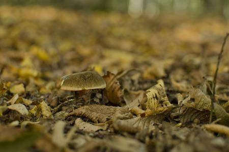 hornbeam: mushroom in hornbeam leaves