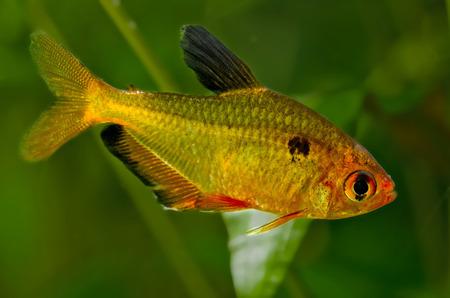 tetra fish: tetra bloody Stock Photo