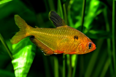 tetra fish: tetra bloody Stock Photo