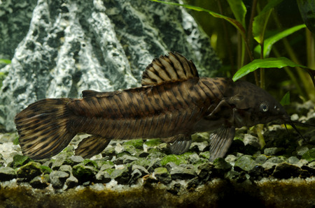 speckled: armor speckled fish
