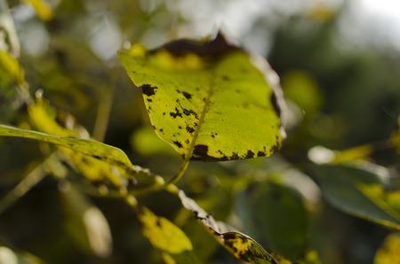 diseased: diseased leaf