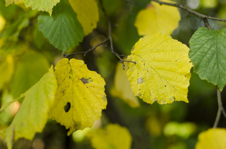 hazel branches: hazel leaves and branches Stock Photo