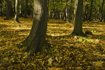 hornbeam: trunk hornbeam autumn