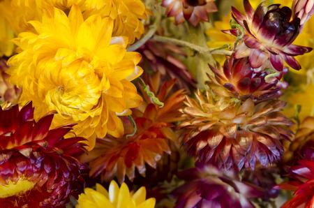 Ammobium alatum, immortelle flowers Standard-Bild