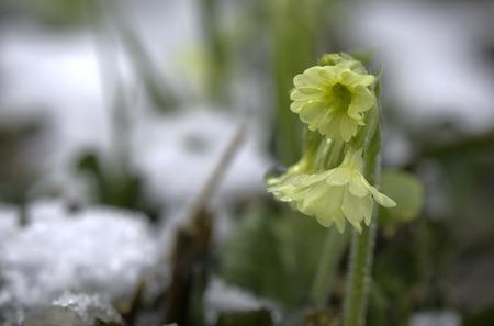 gentleness: primrose and snow