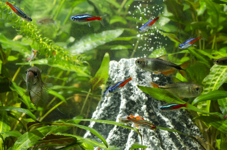 tetra fish: tetra diamond Stock Photo