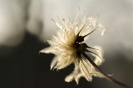 gentleness: fluff flowering clematis