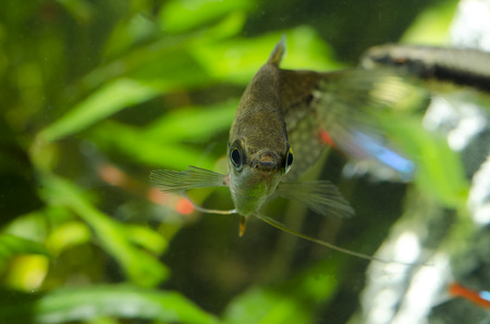 freshwater pearl: Gourami pearl Stock Photo