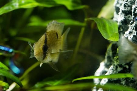 aquarium hobby: Akara brown Stock Photo