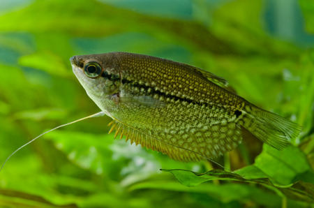 aquarium hobby: Gourami pearl Stock Photo