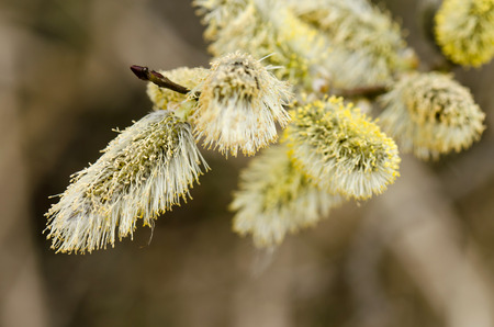 aspen tree: aspen tree blossom Stock Photo