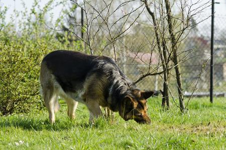 alsatian: Alsatian dog eats grass