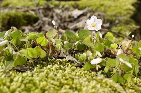 sour clover: Red Clover Blossom
