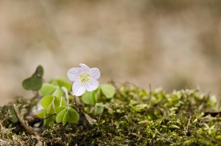 sour clover: sorrel Oxalis acetosella