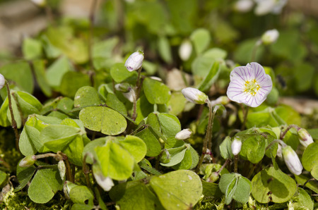 sorrel Oxalis acetosella photo