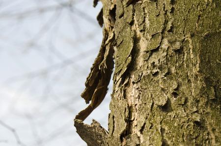 bark peeling from tree: peeling bark from a tree trunk