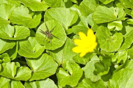 lesser: Lesser Celandine Ficaria verna and spider