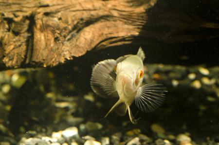 cichlid: Oscar Marble Velvet cichlid cichlid