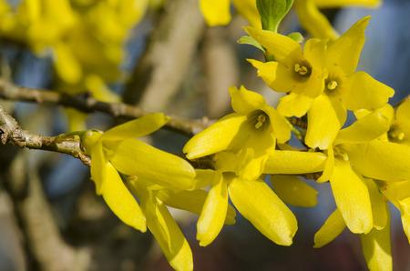 forsythia bush golden shower 스톡 콘텐츠