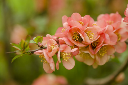 japonica: Japanese quinceChaenomeles japonica Stock Photo