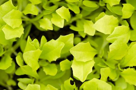 seedlings: lettuce seedlings