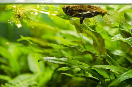 butterflyfish: Freshwater butterflyfish