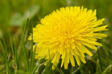 finesse: yellow dandelion flower