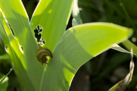 chewed: chewed leaves of Irises and slug