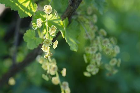 poppet: flower currant