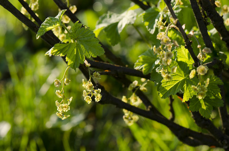 currant: flower currant