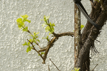 hojas parra: hojas de vid de primavera