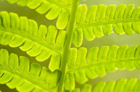 fern leaf: male fern leaf Dryopteris Stock Photo