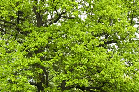 quercus robur: Oak Quercus robur Stock Photo