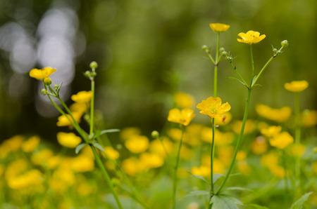buttercup: flower buttercup, Ranunculus acris Stock Photo