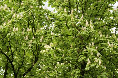 buckeye: buckeye hungarian and flowers  Aesculus hippocastanum Stock Photo
