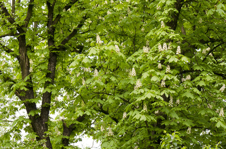 buckeye: buckeye hungarian and flowers  Aesculus hippocastanum Stock Photo