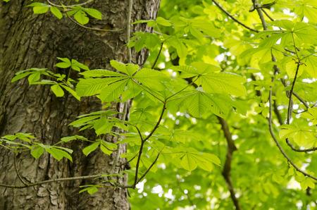 buckeye: buckeye hungarian Aesculus hippocastanum